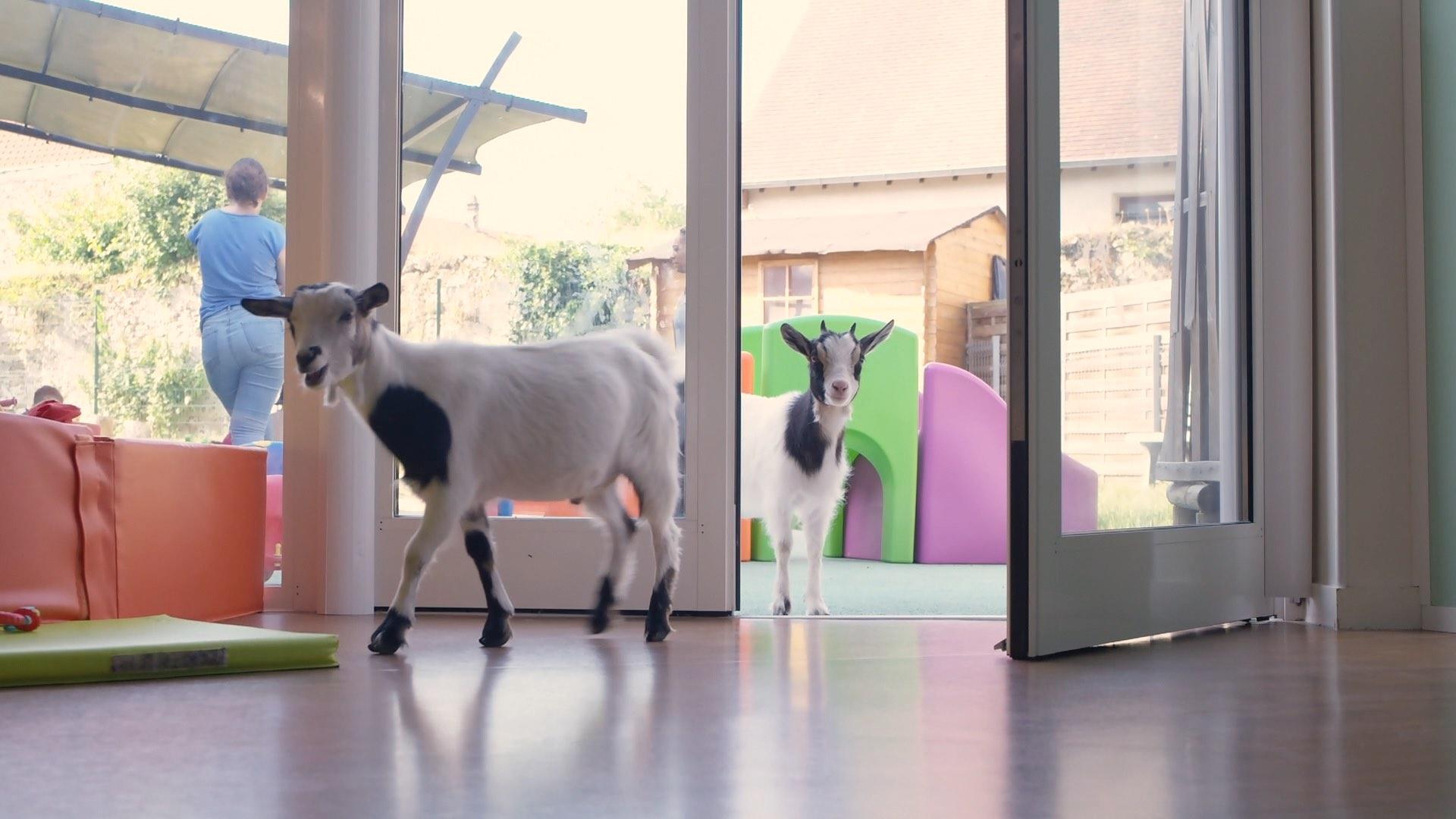 chèvres dans les espaces de vie de la crèche de Marcoussis